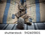Stock photo cute gray kitten laying on sofa 542605831