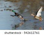 Mallard Duck Takes Off From...