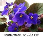 Lila Flower Of African Violet...