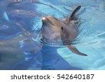 Closeup Bottlenose Dolphin ...