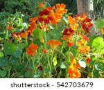 Flower Bed Of Nasturtiums