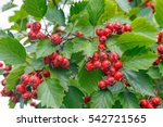 Red Berries On Thorny Branches...