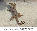 Eastern Fence Lizard   Florida