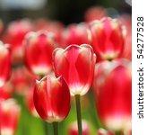 Field Of Red Tulip Flowers....
