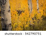 Aspen Trees With Colorful...