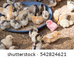 Red Baby Chick Farm Agricultur...
