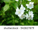 Baikutsugi. White Flowers...