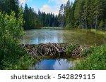 Beaver Dam In The Swamp       ...