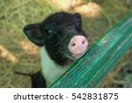 Young Micro Pig On The Farm  ...