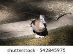 Ringed Teal Duck At A Pond Shore