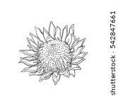 Single King Protea  Sketch...