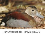 Ringed Teal Duck In Natural...