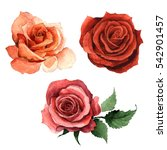 Stock photo wildflower rose flower in a watercolor style isolated full name of the plant rose hulthemia 542901457