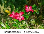 branch of tropical pink flowers ... | Shutterstock . vector #542920267