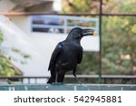 Black Crow Eating Snack On A...