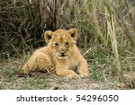 Front View Of Lion Cub ...