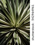 Close Up Of Agave Plant In...