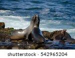 Fighting California Sea Lions...