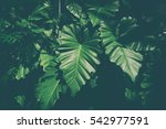 tropical green leaf texture... | Shutterstock . vector #542977591