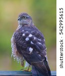 Small photo of Eurasian sparrowhawk (Accipiter nisus)