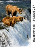 Alaska  Bears Fish.