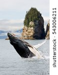 humpbacks whale breaching... | Shutterstock . vector #543006211