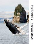 Humpbacks Whale Breaching...