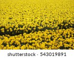 A Mass Of Yellow Daffodils...