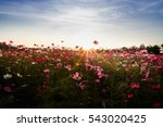 Beautiful Cosmos Flower Field...