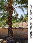 Palm Grove Of Elche  Valencian...