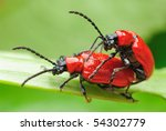 Two Scarlet Lily Beetle Mating