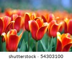 field with red tulips - stock photo