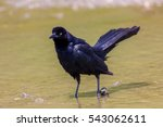 The Great Tailed Grackle Or...