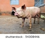 Pig outdoor in a pigpen on a farm - stock photo