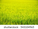 green rice fields morning | Shutterstock . vector #543104965