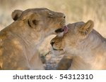 A lioness grooming another lioness in the kalahari desert - stock photo