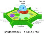 vector plant cell anatomy... | Shutterstock .eps vector #543156751