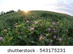 Field Of Clover