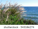 Sea And Feathery Reeds On The...