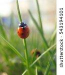 Red Ladybug On Fresh Green...