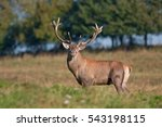 red deer  cervus elaphus  czech ... | Shutterstock . vector #543198115