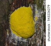 Small photo of Scrambled egg Slime Mold, Fuligo septica, on tree close-up, selective focus, shallow DOF