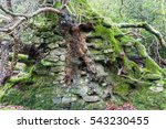Tree With Roots Entwined With...