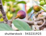 Figs Growing On A Tree. The...