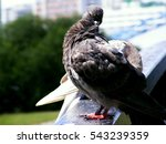 Pigeon Brushes His Empennage ...