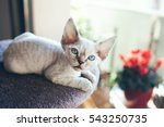 Stock photo pretty devon rex kitten is sitting on the scratching post and looking out of the window sun light 543250735