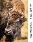 Small photo of American Bison at Yellowstone National Park in Wyoming, USA