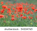 field of red poppies. | Shutterstock . vector #54334765