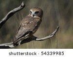 southern boobook owl | Shutterstock . vector #54339985