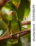 Small photo of White-fronted or White-browed Amazon, Amazona albifrons, vertical photo of green parrot, perched on branch in in tropical forest.